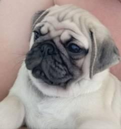 Pug abricó disponível