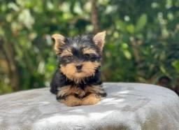 Título do anúncio: Yorkshire Terrier tamanhos micro e padrão, entrega hoje, chamar no what's