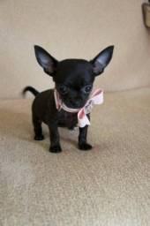 Título do anúncio: Chihuahua pelagem longa e curta, adquira conosco e tenha garantias e suporte veterinário!