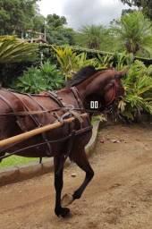 Vendo égua Argentina