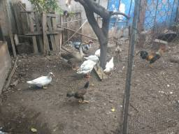 Golos,galinhas,patos e patas