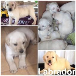 Título do anúncio: Labrador com pedigree e microchip disponível