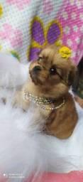 Título do anúncio: Linda lhasa fêmea mini