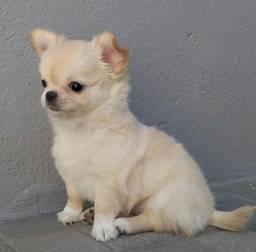 Título do anúncio: Chihuahua - Filhotes Lindos e Saudáveis !!! Entrega Imediata