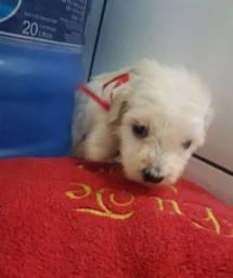 Título do anúncio: Poodle micro mini toyzinhos macho