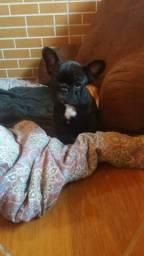 Vendo Filhote de Bulldog Francês - Macho