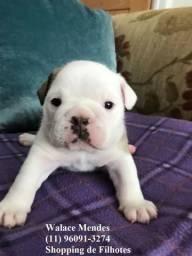 Bulldog Inglês temos 7 clinicas para atender o seu filhote, 6 meses gratuito(11)96091-3274