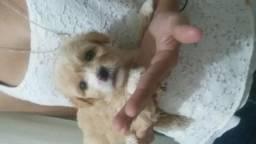 Filhote de poodle macho