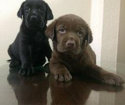 Vendo Filhotes de Labrador Retriever