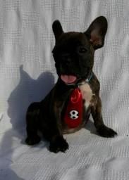 Lindo Bulldog francês promoção relâmpago