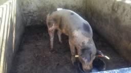 Porcos reprodutor