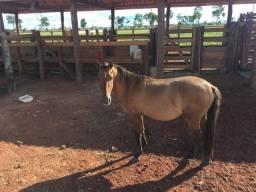 Cavalo novo de 4 anos de idade