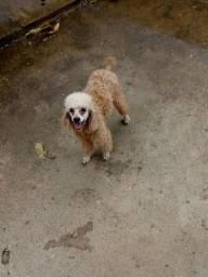 Doação poodle toy macho abricó