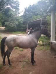 Urgente Cavalo Mangalarga