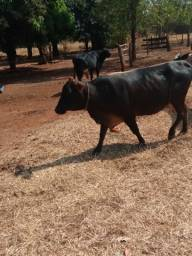 Vaca 3 cria sem defeito  mojando no Máximo 30 dias para parir na média 12 litros a pasto