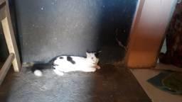 Doa-se gatinhos mestiço angorá