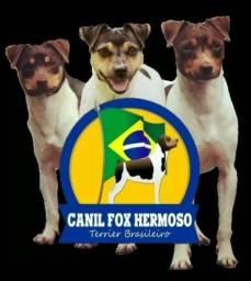 Filhotes de Terrier Brasileiro (Fox Paulistinha)