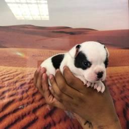 Título do anúncio: Bulldog Francês - Dócil