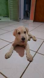 Título do anúncio: Labrador filhote puro