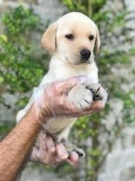Título do anúncio: Labrador- Lindos e Saudáveis!!