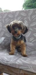 Filhote cachorro yorkshire