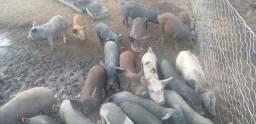 Porcos Caipira Vivo ou Limpo