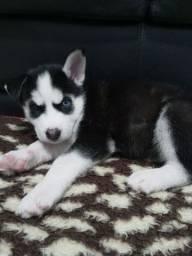 Filhote Husky Siberiano