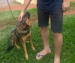 Cachorra mestiça pastor alemão