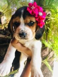 Título do anúncio: !!!Beagle Filhote 13 Polegadas com pedigree e microchip