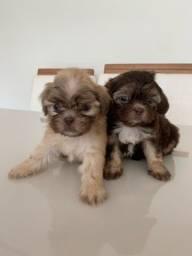 Filhotes fêmeas de Shihtzu com poodle