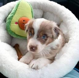 Título do anúncio: Border Collie belos filhotes disponíveis !!