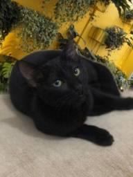 Doação lindo gato castradinho pretinho 10 meses.