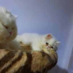 Gato persa macho para cruzar