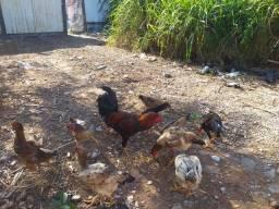 Título do anúncio: Vendo 8 galinha e 1 galo.