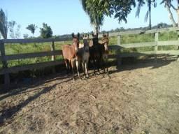"""""""Vende-se mulas domadas para trabalhar no Campo contato:6999241564"""