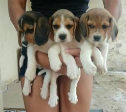 Cachorro beagle puro. watts 27996176216