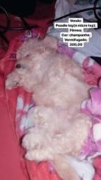 Poodle toy puro, fêmea, cor: champanhe