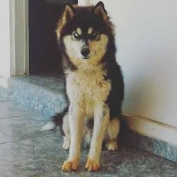 Husky siberiano macho