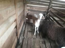 Ovelha, carneiro