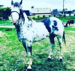Cavalos Criolo business