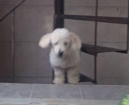 Poodle 5 meses