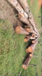 Toras de eucaliptos