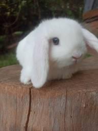 Título do anúncio: Filhotes de mini coelho