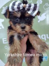 Yorkshire terrier garantia e procedencia