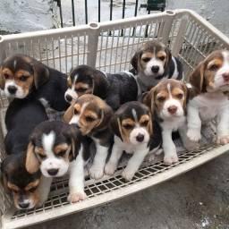 beagle ideal para crianças