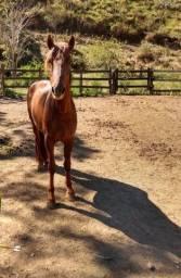 Cavalo Mangalarga Alazão.