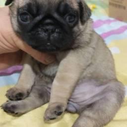 Título do anúncio: Pug fêmea vacinada e vermifugada