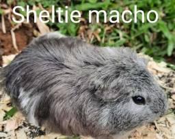 Título do anúncio: Porquinho da india Sheltie