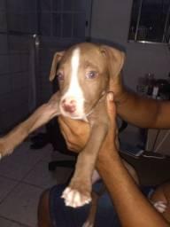 Cachorro filhote Pitbull