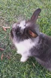 Filhote de coelho mini lop